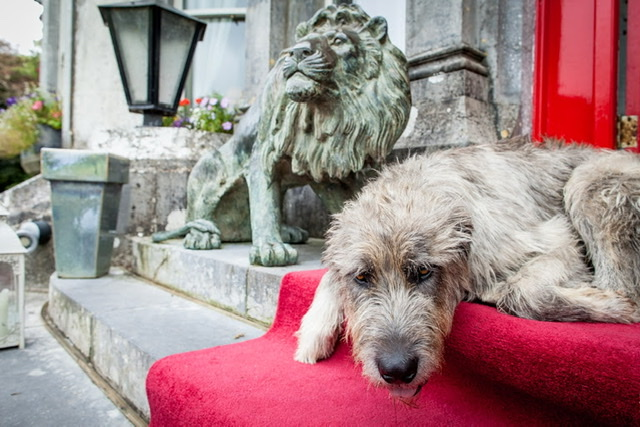 Wolfhound at Ballyseede Castle Ireland