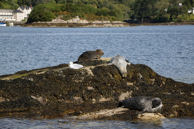 Bantry bay seals